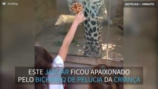 Jaguar brinca com criança nos EUA
