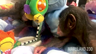 Baby chimp starts to notice her reflection in the mirror