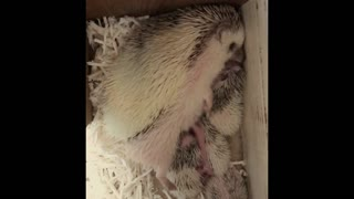The little Hedgehog suckles The Mother.