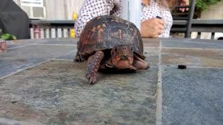 One arm box turtle