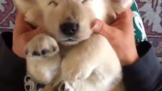 Super relaxed puppy enjoys thorough massage