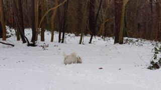 Cute West Highland Terrier runs through the snow like a rabbit
