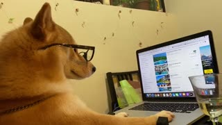 Nerdy Shiba Inu surfs the web on owner's laptop
