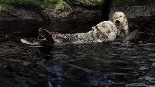 Cute Beaver Swim