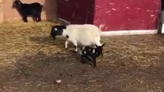 Baby Goat Collision - Hilarious and unexpected