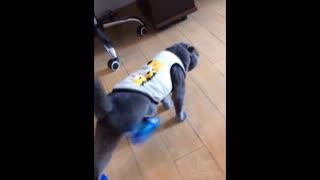 Cat runs in blue flip flops!