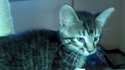 Kitten Climbs My Leg