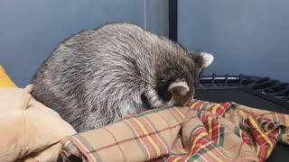 Raccoon sat uncomfortably in a blanket and fell asleep.