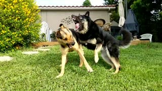 Dogs Bare Teeth in Play Fight