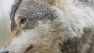 Gray wolf 🐺