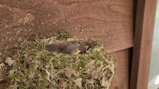 Eastern Phoebe Birds Nest Pt. 2