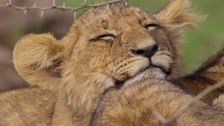 Close-up shot of sleepy lion cub