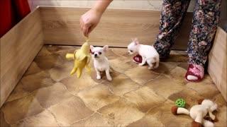 Chihuahua puppies, girls.