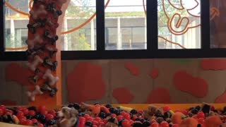 Mini Aussie enthusiastically jumps into ball pit