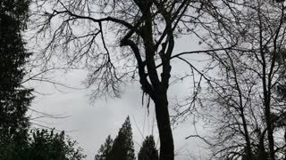 Trimming maple tree