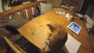 Playing kitten disturbed by german shepherd