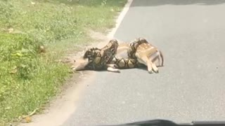 Deer Saved From Close Call with a Constrictor
