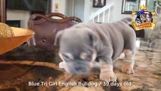 Cut bulldog