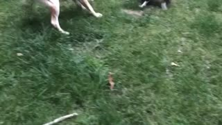 Dogs' Game of Keep-Away Leads to Airtime