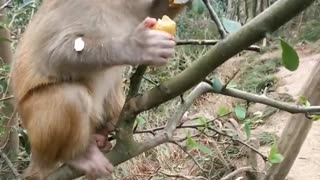 Cute Baby Monkey Eats Longan On a Branch