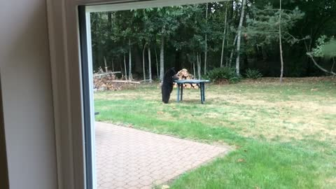 This Cute Bear Cub Is A Sweet Intruder Who Loves To Play With The Table