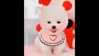 😍 Funny and Cute Pomeranian #7 😍 Perritos bebes lindos 🐱💗