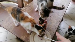 feeding my kittens and cat with a spoon