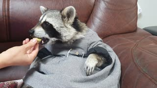 Raccoon wearing a dress munches on boiled eggs