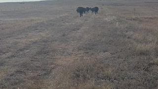Just Feeding some Cows