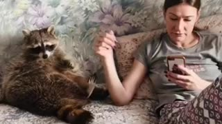 Curious Raccoon Needs Attention