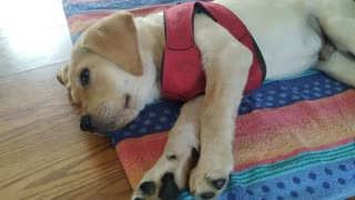 Service dog puppy tired after playing