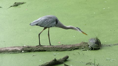 Great Blue Herons mating on a log in a swamp