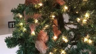Cat treats Christmas tree like personal jungle gym