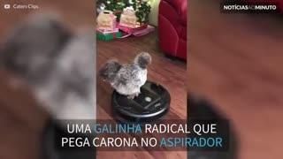 Esta galinha adora passear... de aspirador