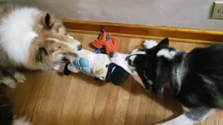 Snowflake Plays Tug-of-War with Dash the Sheltie