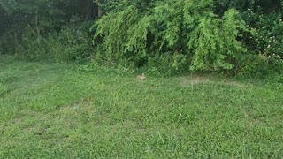 Wild rabbit eating in the park