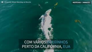 Baleia brinca com golfinhos durante migração!