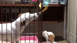 Jack Russell & puppy humorously fight over water dispenser