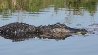 large alligator in the water