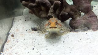 Rocky the Frog Fish