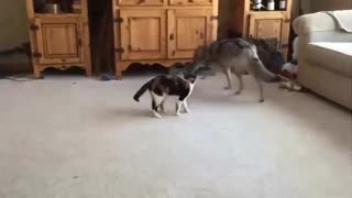 A cat playing with a wolf
