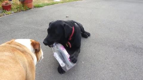 Brave English Bulldog takes on American Black Labrador