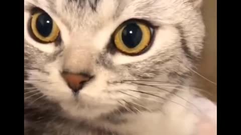 Cute angry talking cat