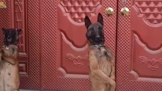 Horse dog training
