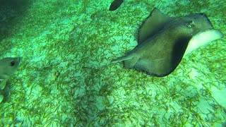 Gigantic stingrays take a serious liking to snorkel guide in Belize