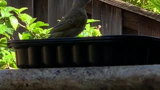 #Back Yard Birds Hawai'i Canary Baby (Saffron Finch)