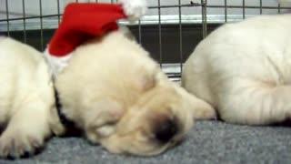 Litter of puppies wear adorable tiny Santa hats