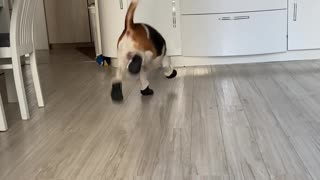 Beagle Is Still Getting Used to New Booties