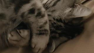 A sleeping tabby cat