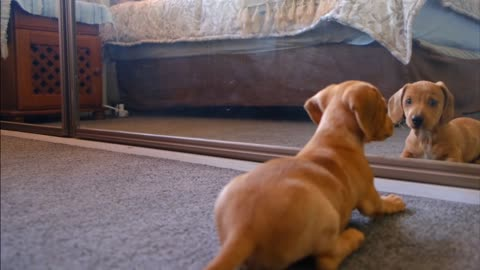 Funny dog In front of the mirrors